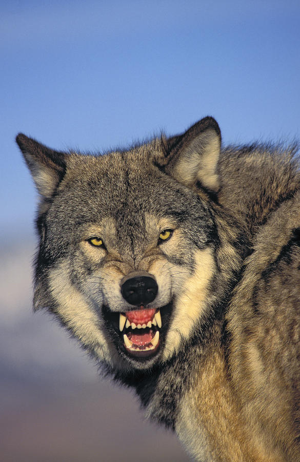 Wolf Front View Growling | www.pixshark.com - Images ...