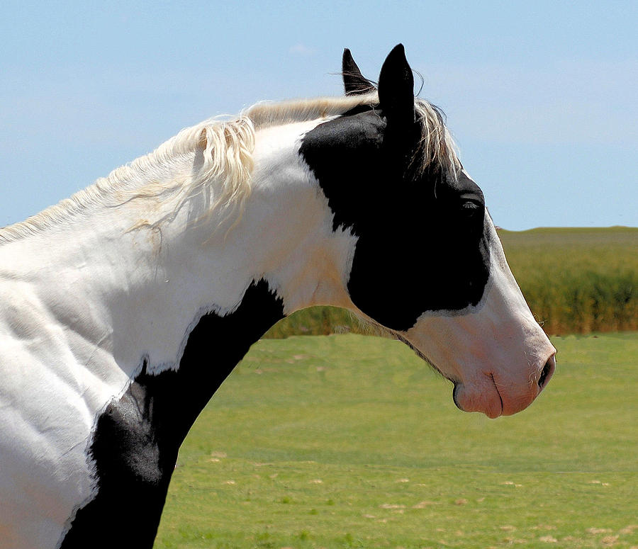 what is a tobiano horse