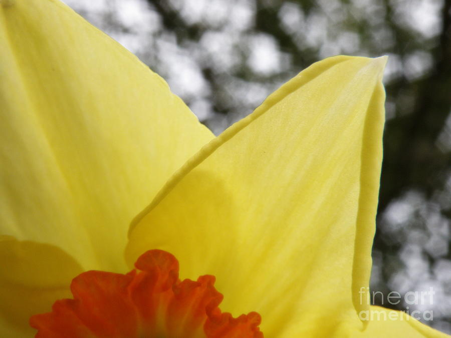 Daffodil Photograph - Today by Lainie Wrightson