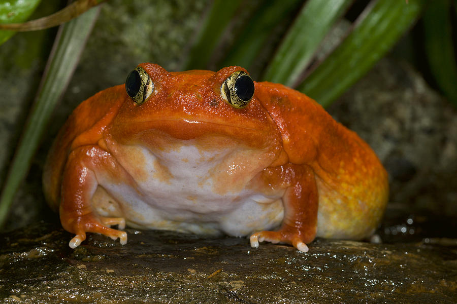 tomato-frog-very-rare-in-nature-san-diego-zoo