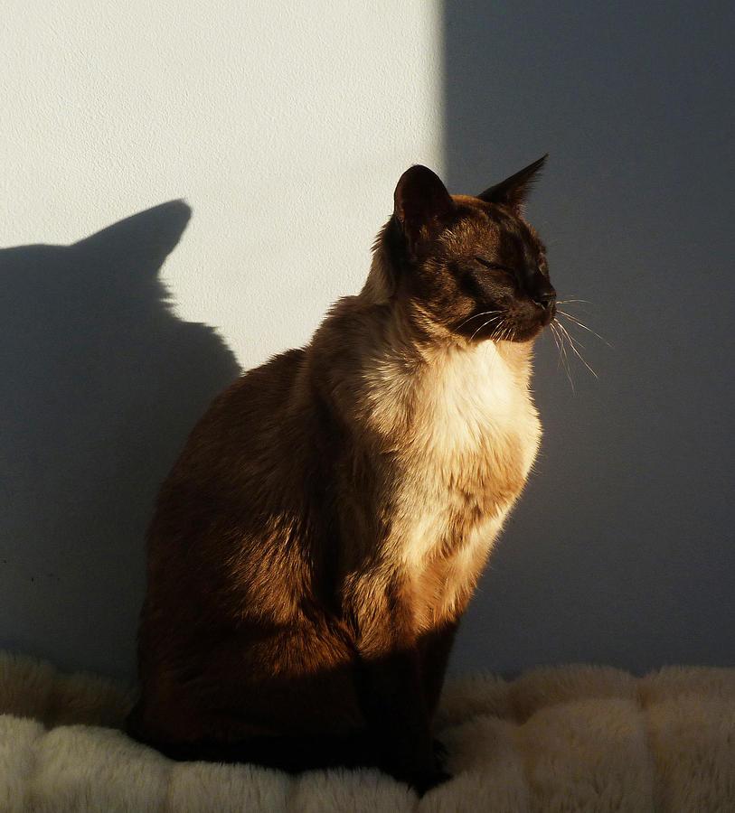 Tonkinese Sunlit Nap Photograph
