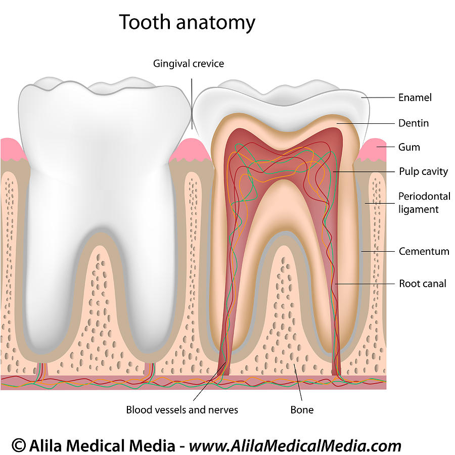Dental anatomy pictures