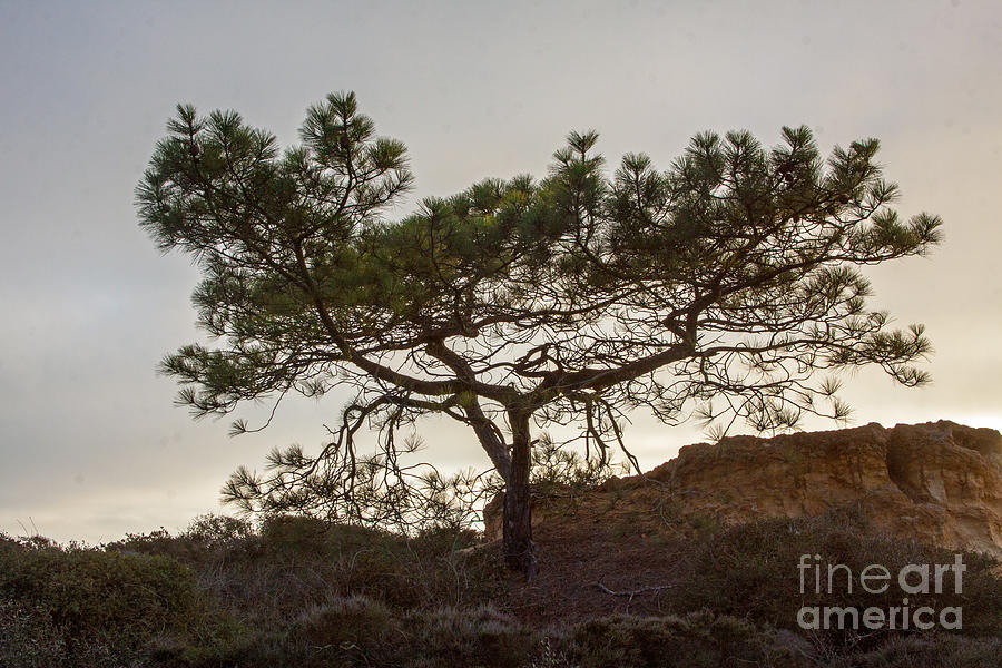 Torrey Pine Tree Photograph  - Torrey Pine Tree Fine Art Print