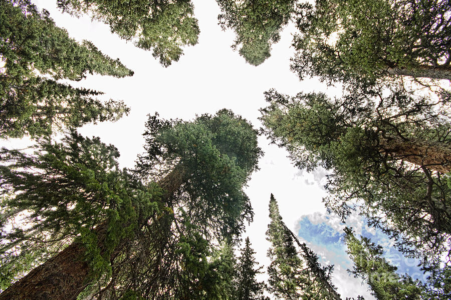 Towering Pine Trees Photograph  - Towering Pine Trees Fine Art Print
