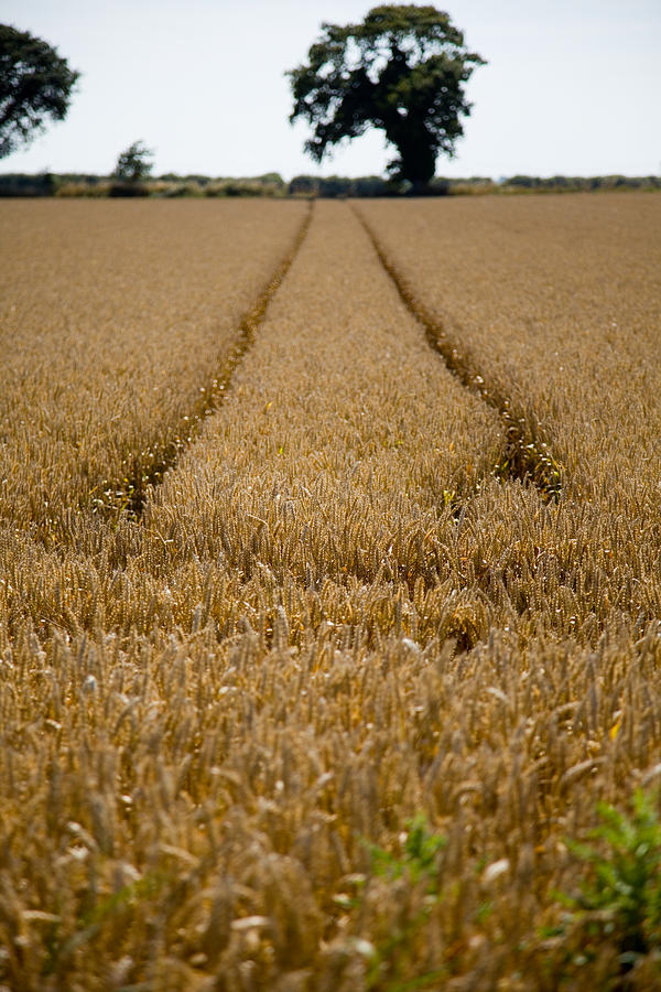 Wheat Field Photograph - Tramlines by Paul Lilley