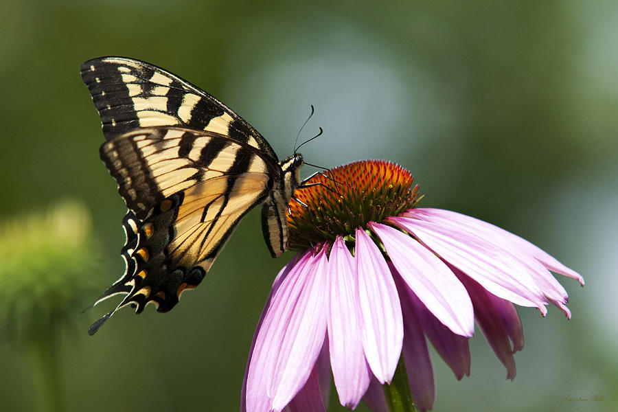 Tranquil Butterfly Photograph