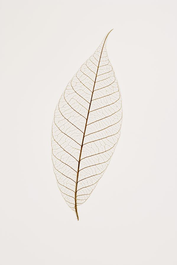 Transparent Leaf Photograph