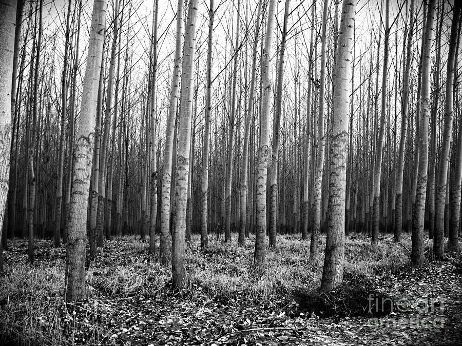 Tree Farm Photograph  - Tree Farm Fine Art Print