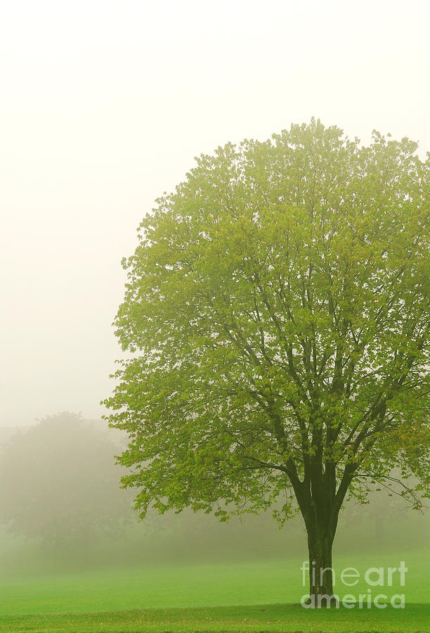 Tree In Fog Photograph