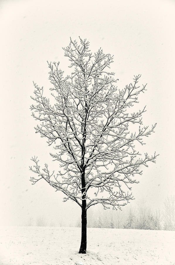 Tree In Heavy Snow Photograph