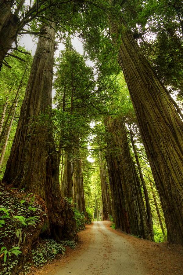 Tree Redwood Ca 3 Photograph