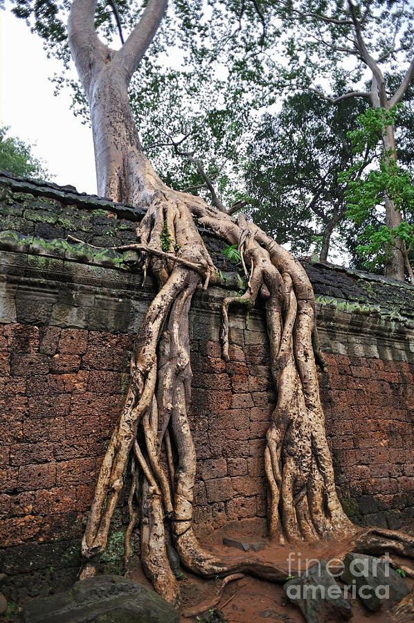 Tree Roots On Ruins At Angkor Wat Photograph  - Tree Roots On Ruins At Angkor Wat Fine Art Print