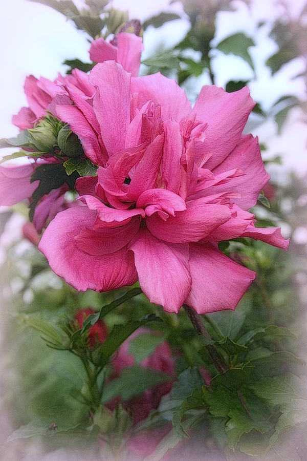Flowering Photograph - Tree Rose Of Sharon by Kay Novy