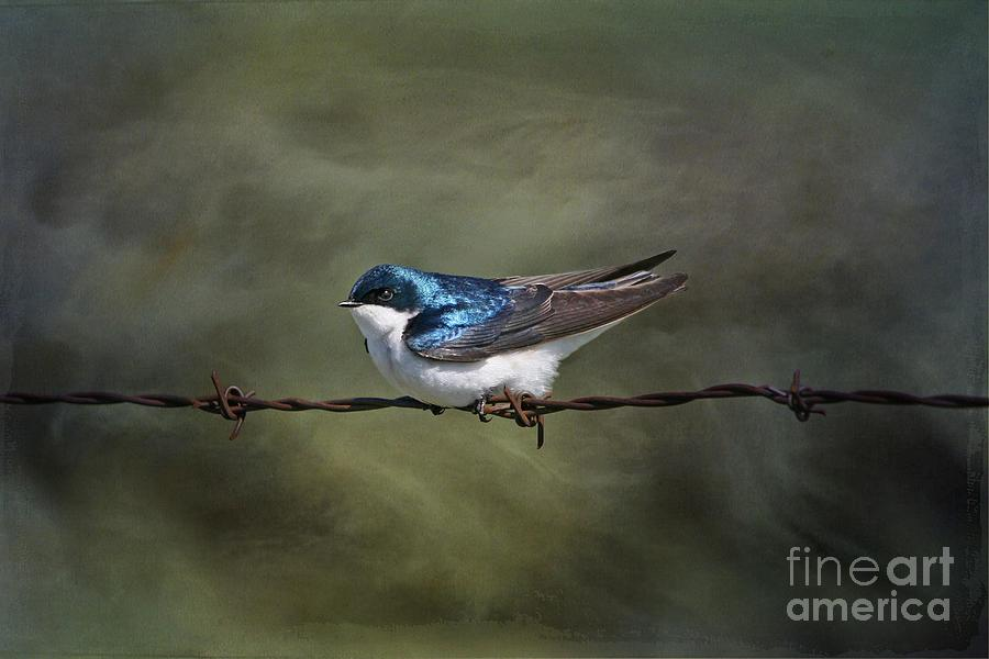 Tree Swallow Photograph  - Tree Swallow Fine Art Print