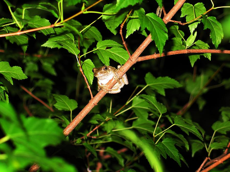 Tree Toad Photograph