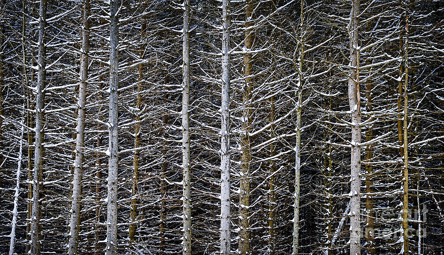Tree Trunks In Winter Photograph