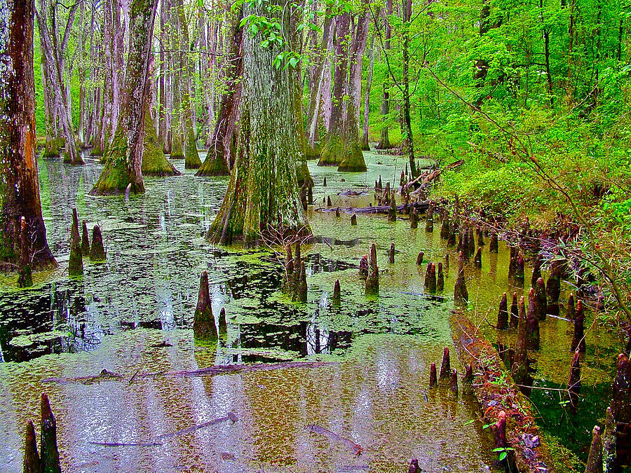Trees And Knees Of Water Tupelo/cypress Swamp At Mile 122 Along Natchez Trace Parkway-ms Photograph