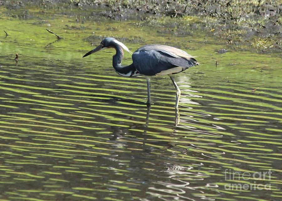 Tricolored Heron Photograph