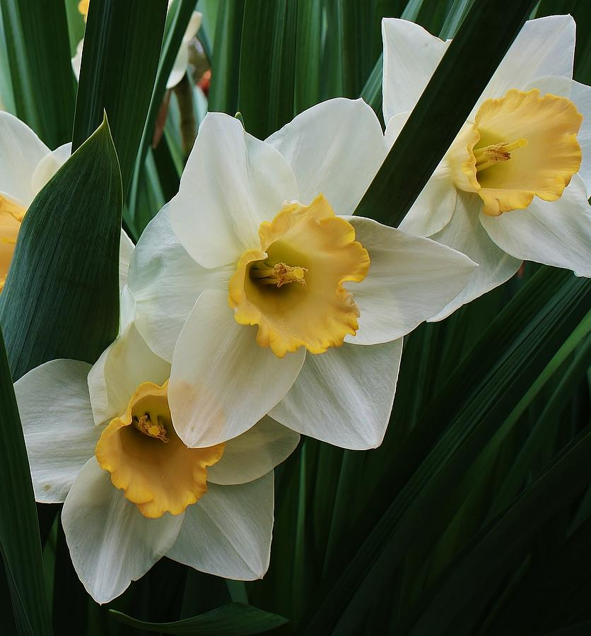 Flora Photograph - Trio Of Daffodils by Bruce Bley