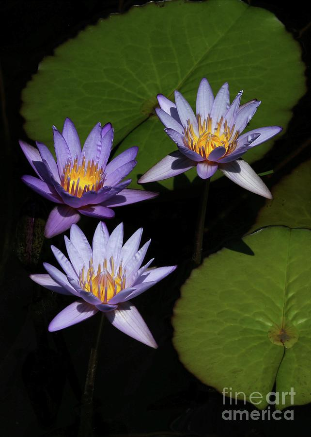 Trio Of Purple Water Lilies Photograph