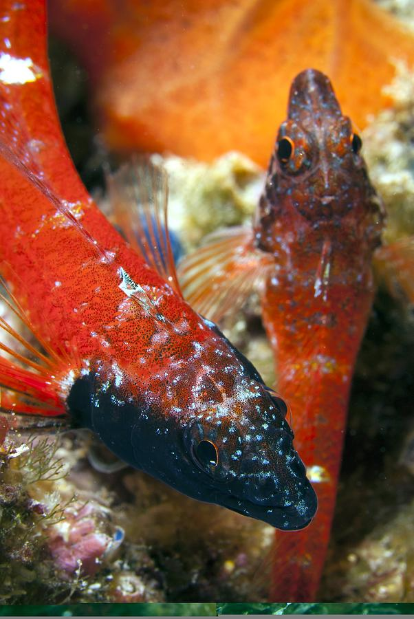 Triplefin Blennies Photograph