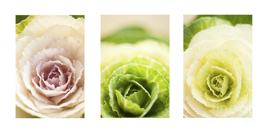 Triptych Of Ornamental Cabbages Photograph  - Triptych Of Ornamental Cabbages Fine Art Print