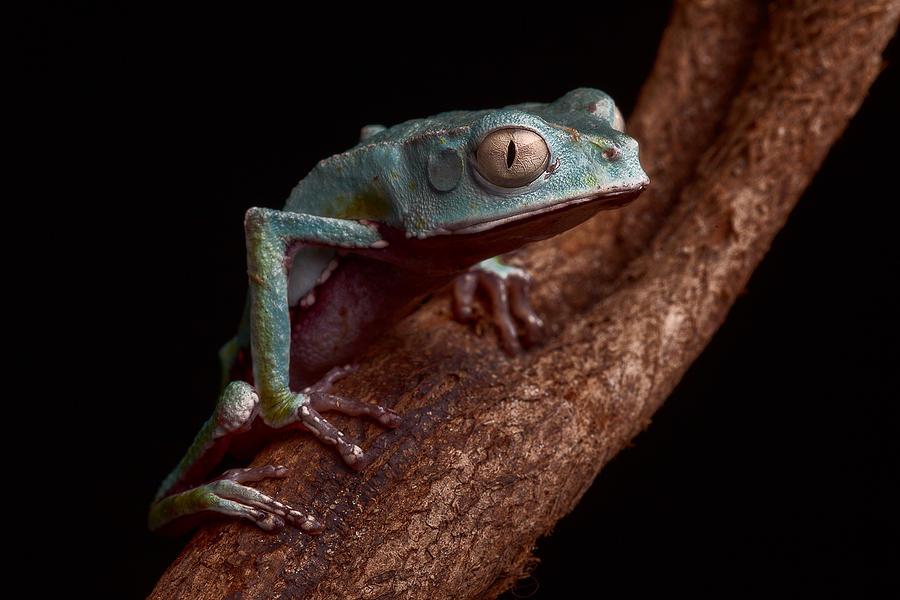Tropical Amazon Rain Forest Tree Frog Photograph