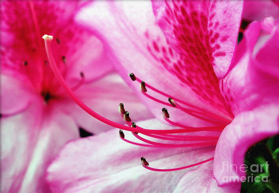 Tropical Azalea Photograph  - Tropical Azalea Fine Art Print