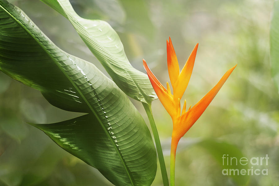 Tropical Flower Photograph  - Tropical Flower Fine Art Print