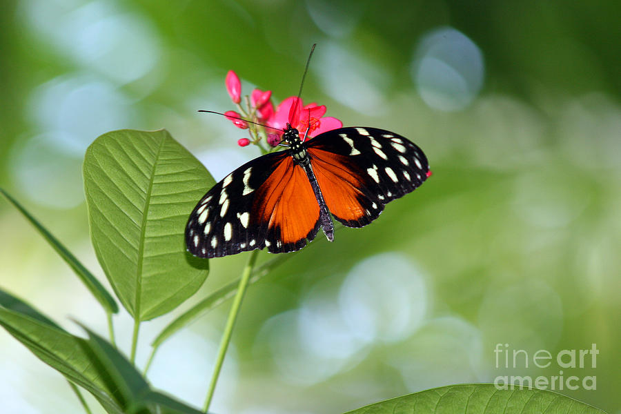 Tropical Photograph - Tropical Hecale Butterfly by Karen Adams