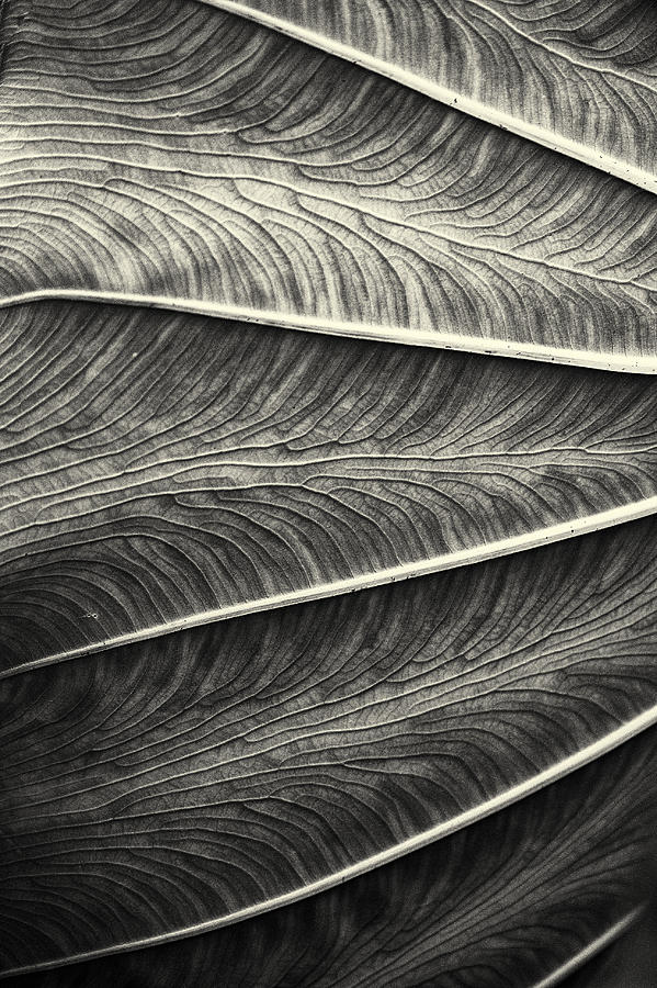 Tropical Leaf No.1 2009 V.2 Photograph  - Tropical Leaf No.1 2009 V.2 Fine Art Print