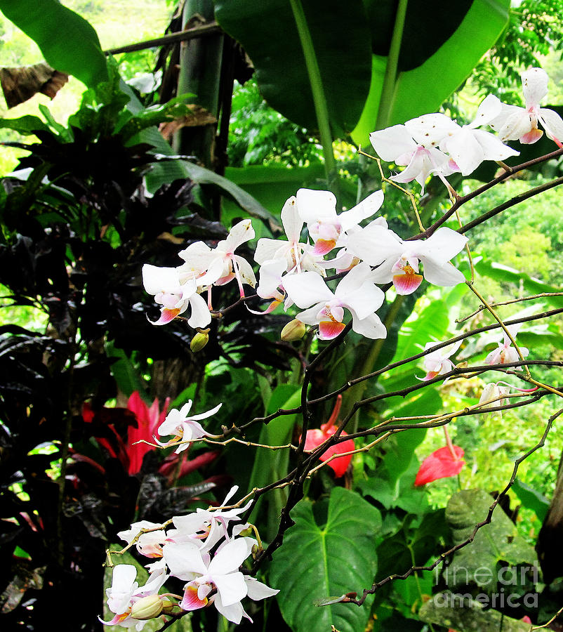 Flower Photograph - Tropical Orchids by Tina M Wenger