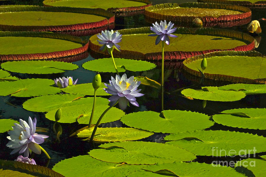 Tropical Water Lily Flowers And Pads Photograph