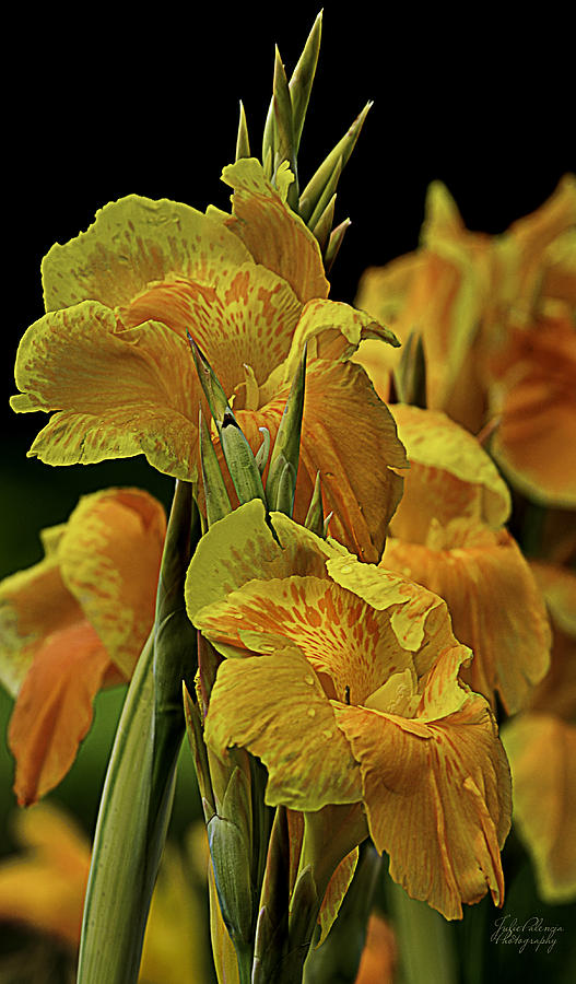 Tropicanna Gold Canna Lily Photograph  - Tropicanna Gold Canna Lily Fine Art Print