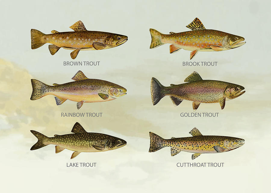 Lake Trout Drawing - Trout Species by Aged Pixel