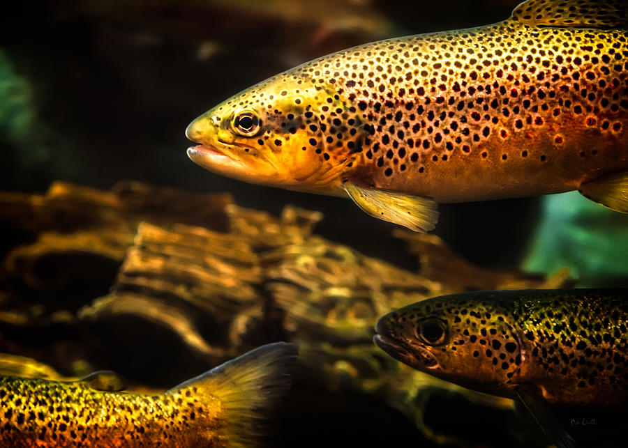 Trout Swiming In A River Photograph