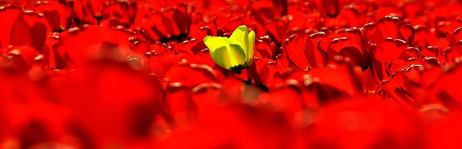 Tulips Photograph - True Color Panorama by Benjamin Yeager