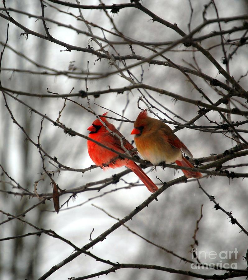 Cardinals Photograph - True Love Cardinal by Peggy  Franz