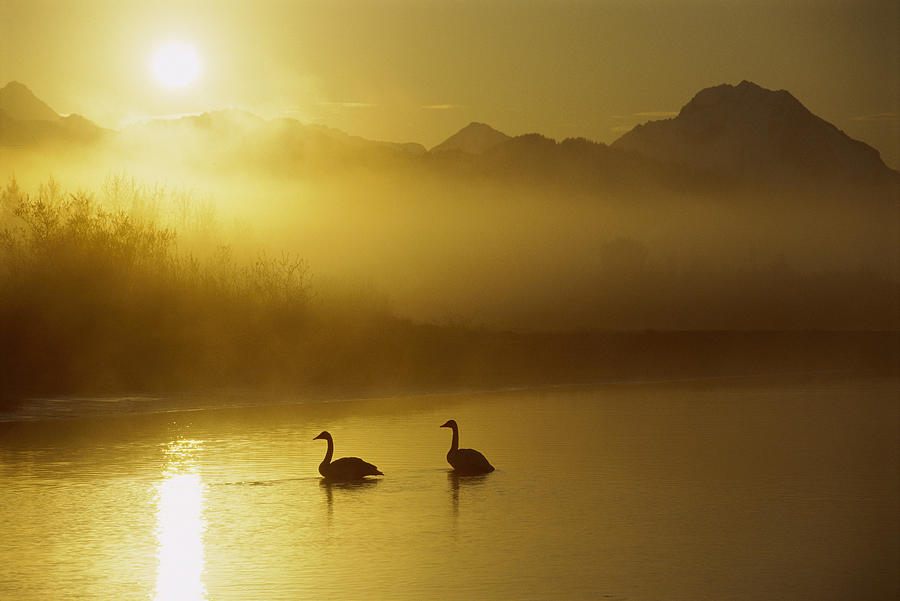 Animal In Landscape Photograph - Trumpeter Swan Pair At Sunset by Michael Quinton