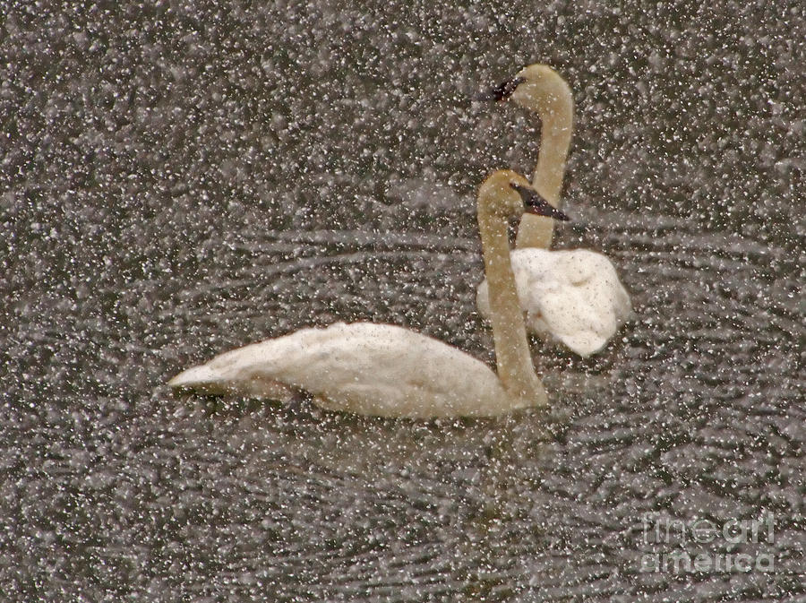 Trumpeter Swans In Snow Photograph