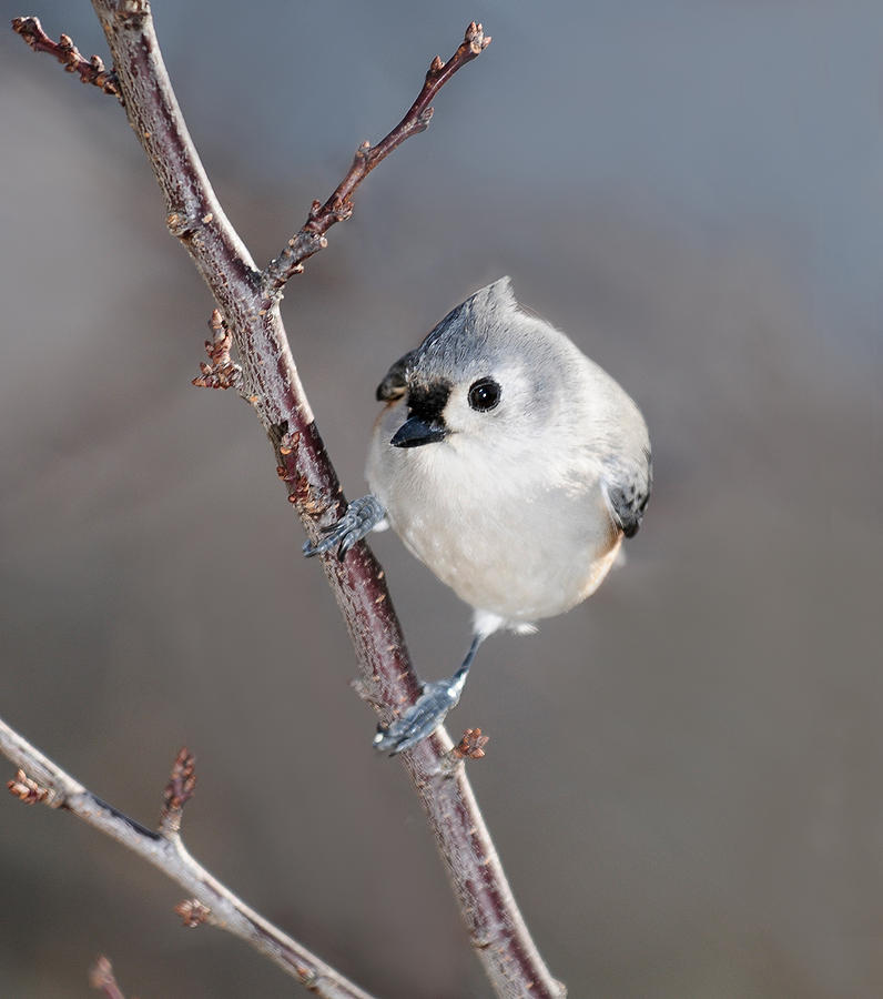 Tufted Titmouse 3 Photograph