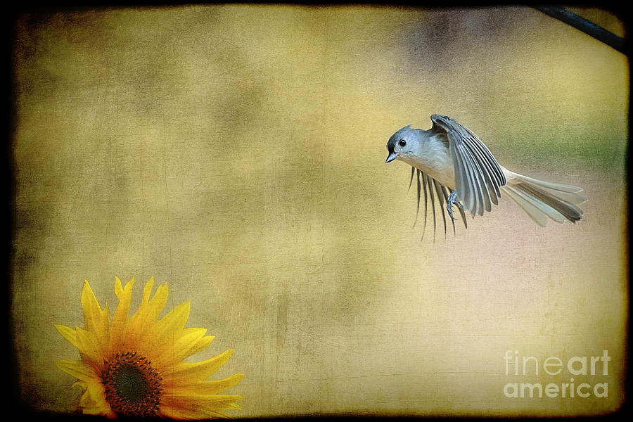 Tufted Titmouse Photograph - Tufted Titmouse Flying Over Flower by Dan Friend