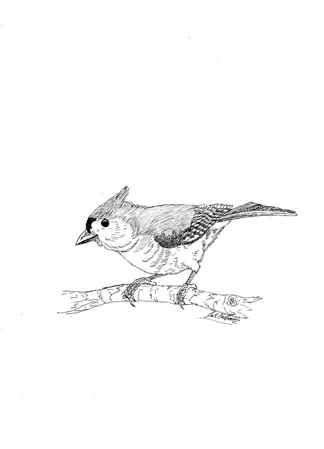 Tufted Titmouse Drawing