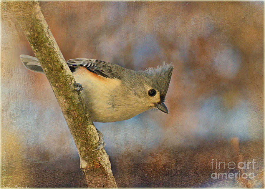 Tufted Titmouse With Texture Photograph  - Tufted Titmouse With Texture Fine Art Print