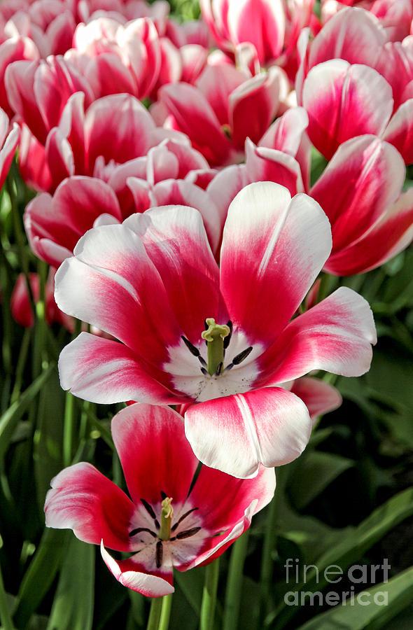 Tulip Annemarie Photograph