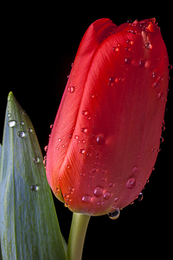 Tulip Close Up Photograph  - Tulip Close Up Fine Art Print