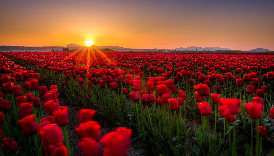 Tulip Fields Photograph  - Tulip Fields Fine Art Print