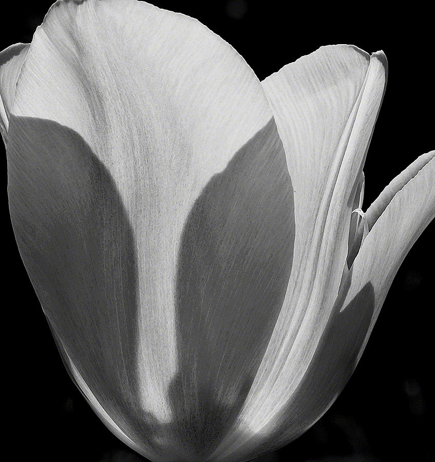 Tulip In Black And White Photograph  - Tulip In Black And White Fine Art Print