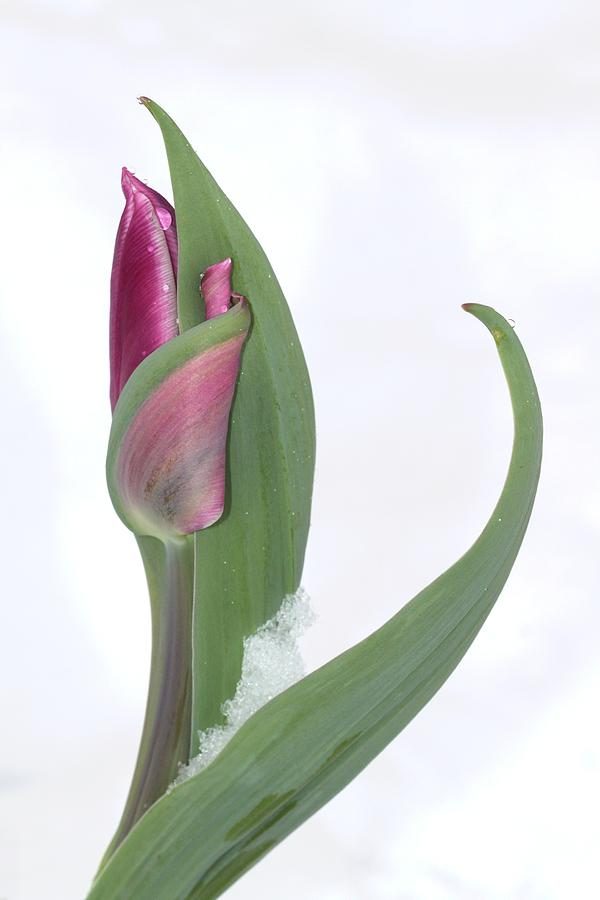 Tulip In The Snow Photograph