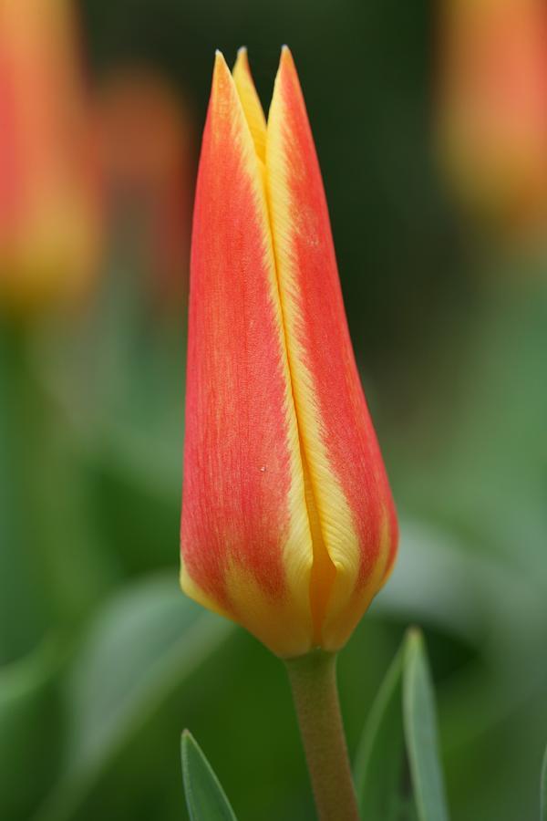 Tulip Photograph - Tulip by Mark Severn